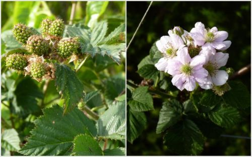 Tayberries - first flower and fruit