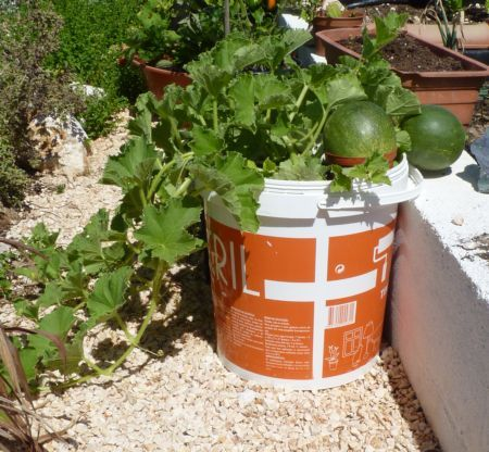 Melon plants can grow in containers