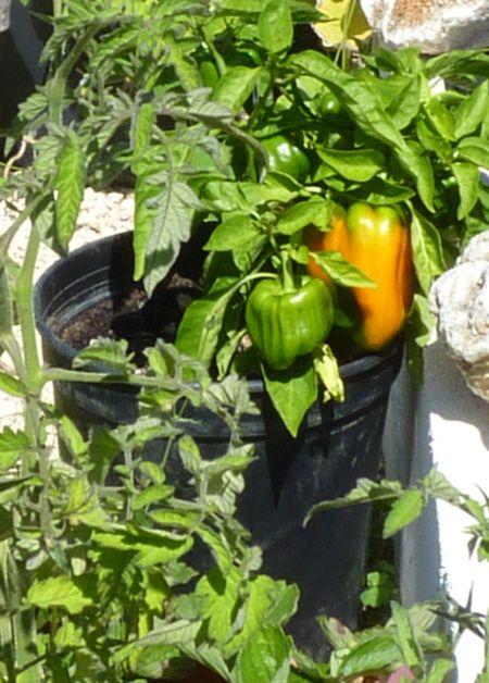 Orange Peppers growing in pots