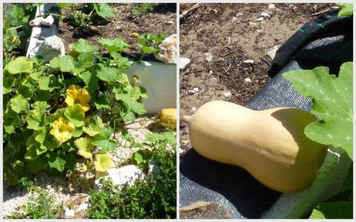 Growing squash plants in pots