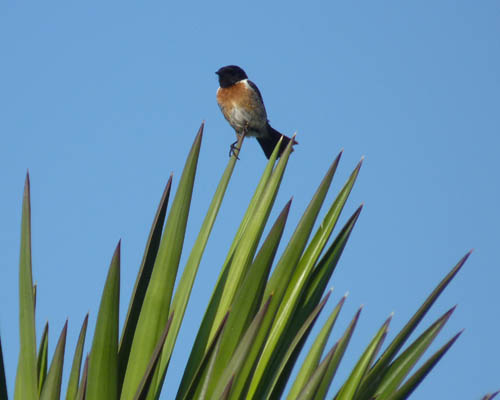 Male Stonechat in Portugal