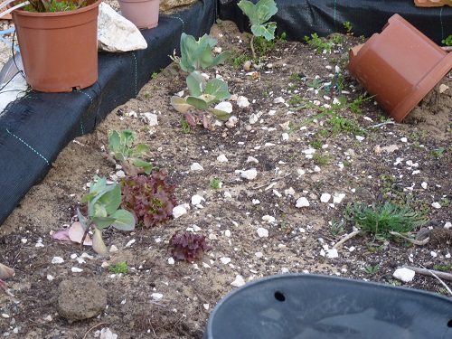 Cabbage and lettuce planted last October have hardly grown