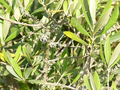 Parasitic plant growing on branches of olive tree
