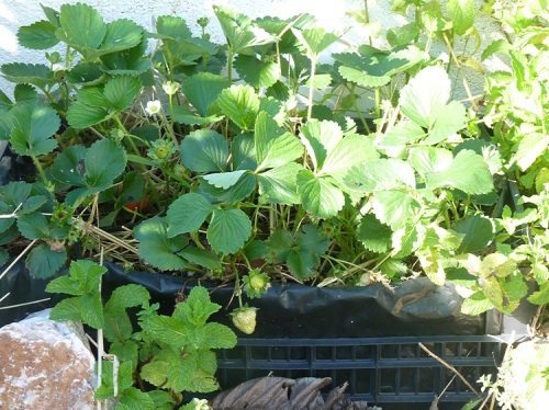 Strawberries also grow well in crates