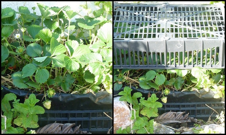 Strawberries growing in crates