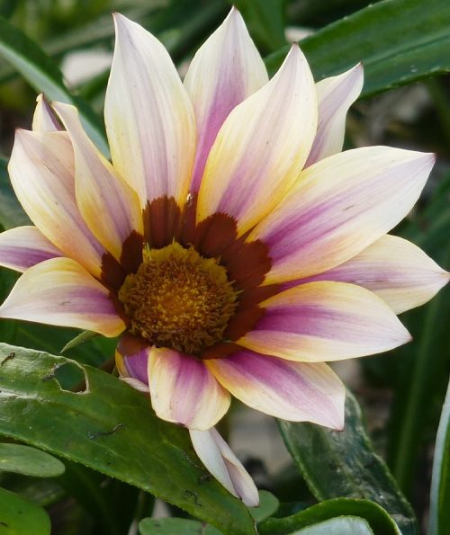 Gazania (pink and cream striped petals)