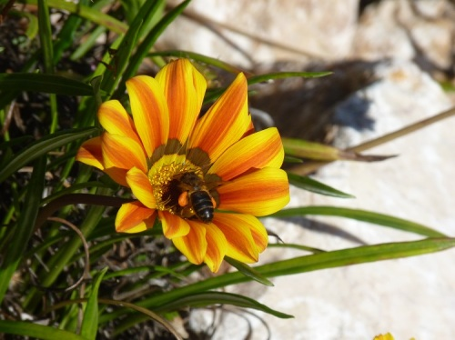 Gazania with yellow and orange flowers