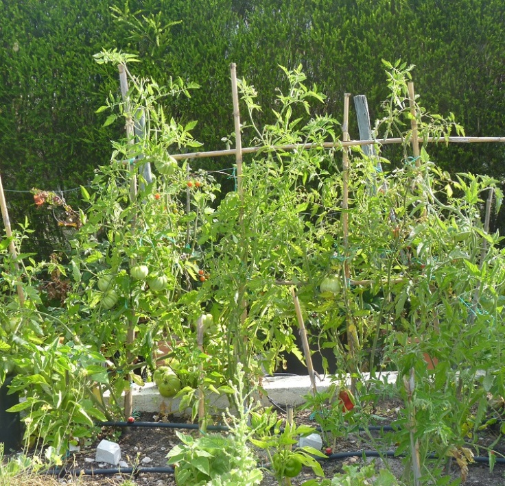 These tomato plants the mother of the monster tomatoes!