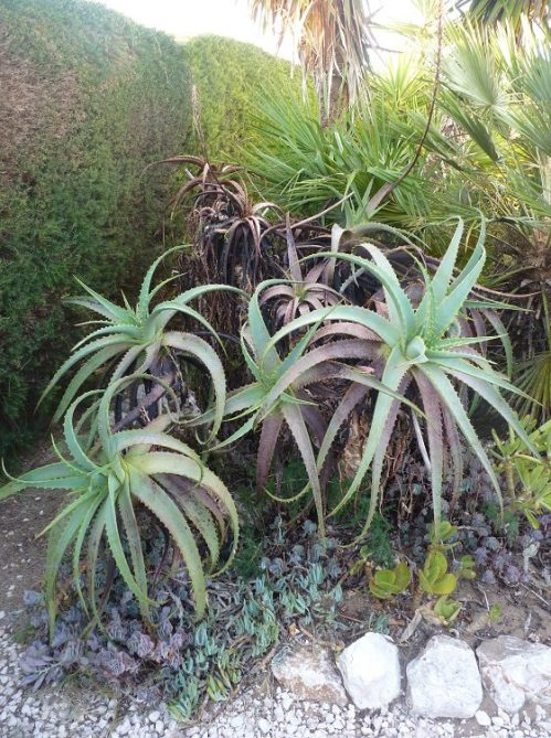 Aloe Arborescen with black marks on leaves