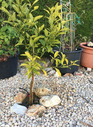 My kumquat tree has yellow leaves