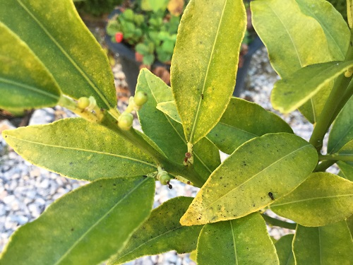 Kumquat Tree - Chlorosis, uniform yellowing of leaves