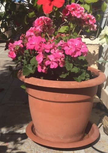 Healthy Geraniums in March