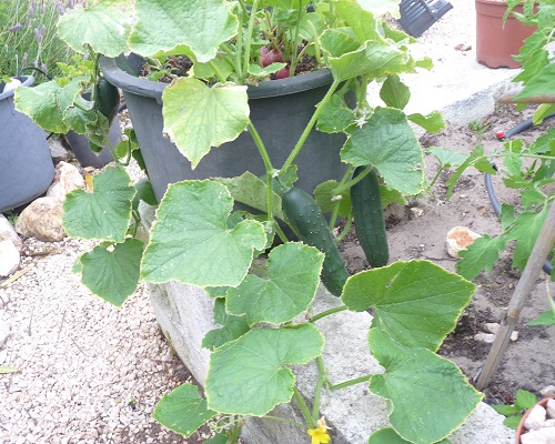 Cucumbers grow well in pots