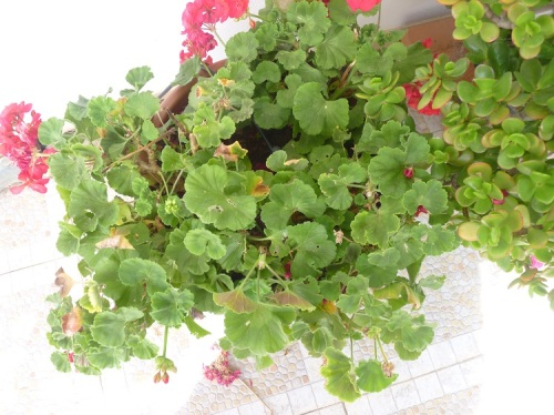 tub of sickly geraniums