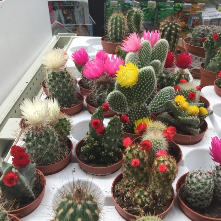 straw flowers on cacti - what a con!
