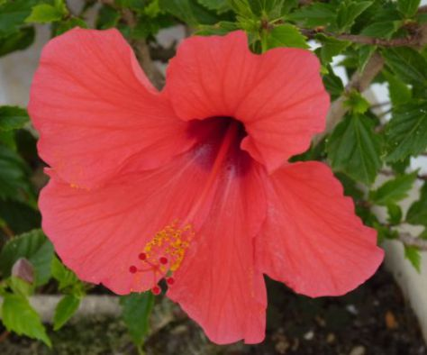 How To Propagate Hibiscus In 10 Easy Steps Piglet In Portugal