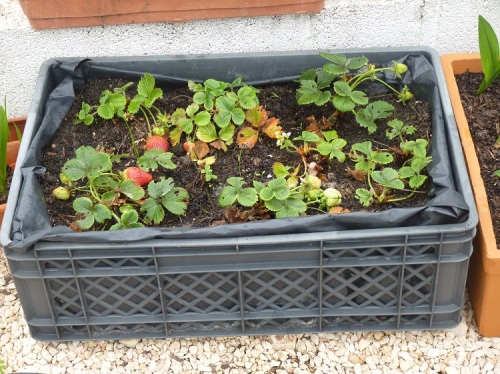 Growing strawberries in containers Jan 2018