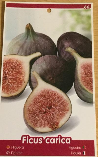 Ficus Carica - Napolitana