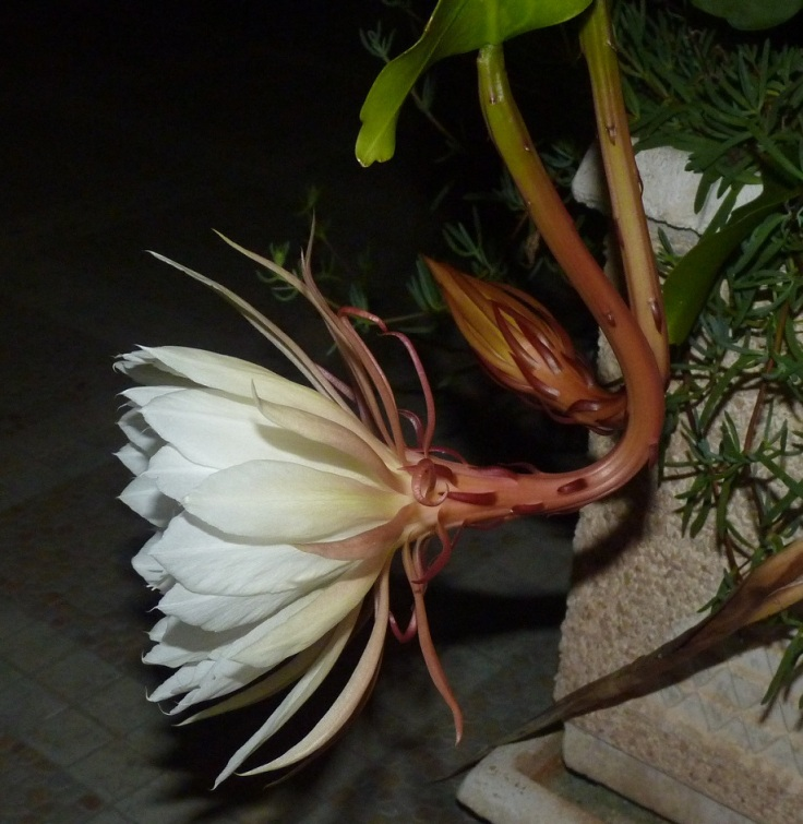 Queen of the Night Orchid Cactus (Epiphyllum Oxypetalum) - starting to open