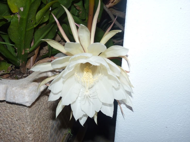 Epiphyllum Oxypetalum (Queen of the Night) only flowers at night
