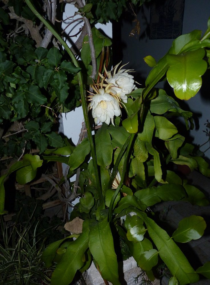 Oxypetalum (Queen of the Night) only flowers at night