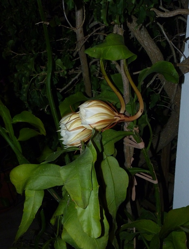 Oxypetalum (Queen of the Night) only flowers at night. Buds starting to open.