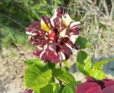 Abracadabra- Hybrid Tea Rose