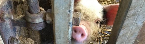 Piglet's Porkers Facebook Group