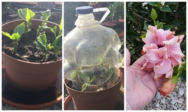 Hibiscus Cuttings