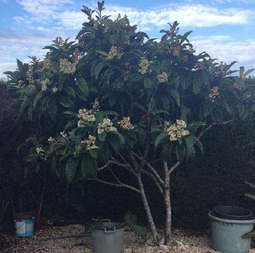 Medlar Tree in Flower
