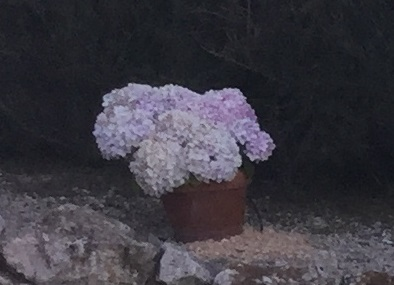 Hydrangeas can grow well in pots