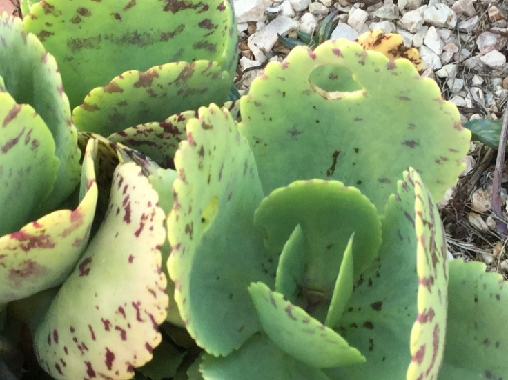 Kalanchoe Marmorata – Spotted Kalanchoe