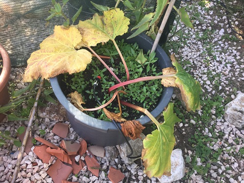 Growing Rhubarb in Pots