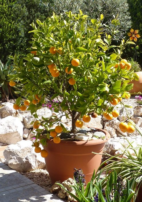 Ornamental Orange Tree - Western Algarve