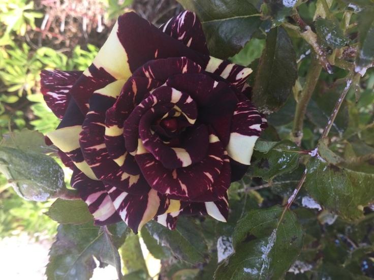 Abracadabra rose-