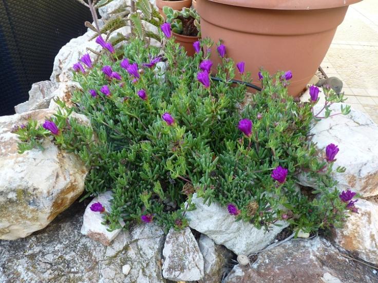 Delosperma cooperi, Ice Plant