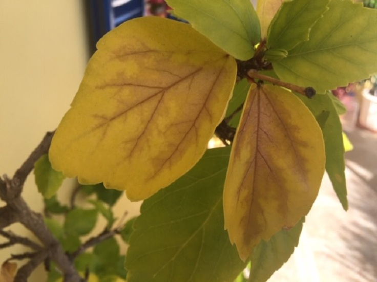 Yellow Hibiscus leaves with brown centre