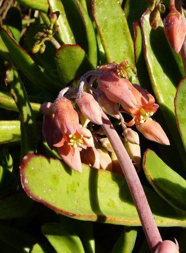 Cotyledon orbiculata (Pig's ears or Elk's horn)