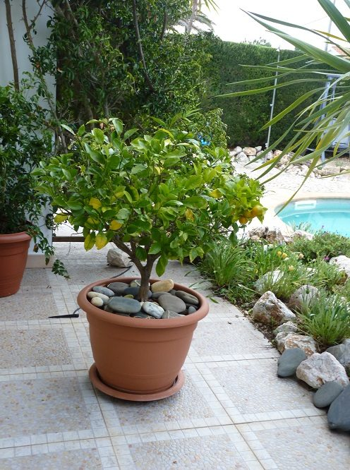 Ornamental orange tree growing in a pot