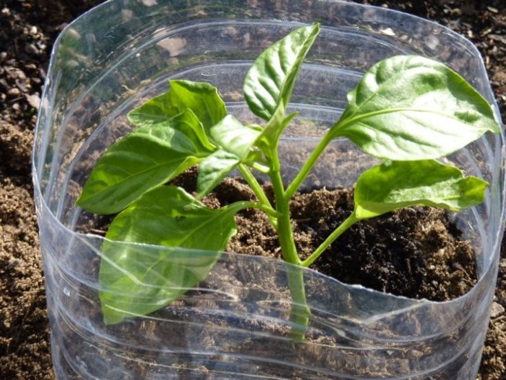 Protective Plastic Collar For Young Plants