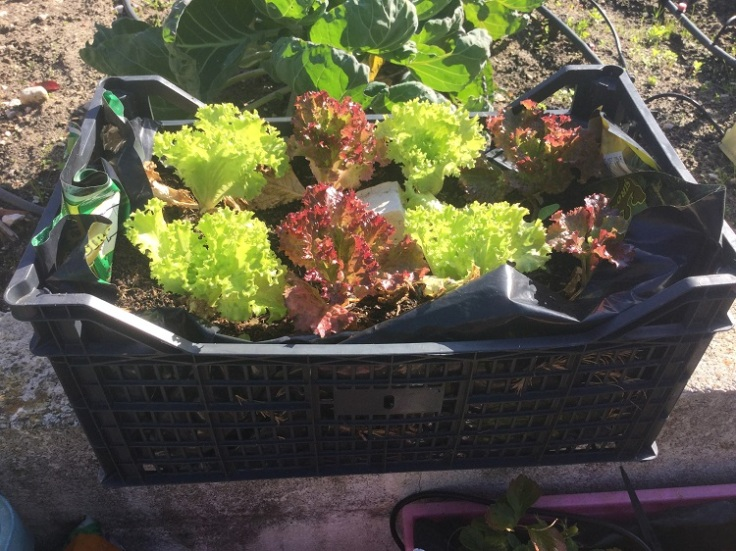Upcycle old plastic crates to grow salad crops