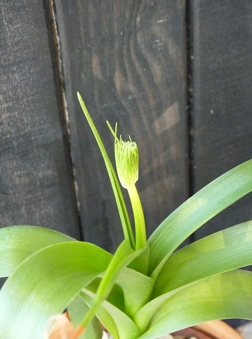 Albuca bracteata – Pregnant Onion