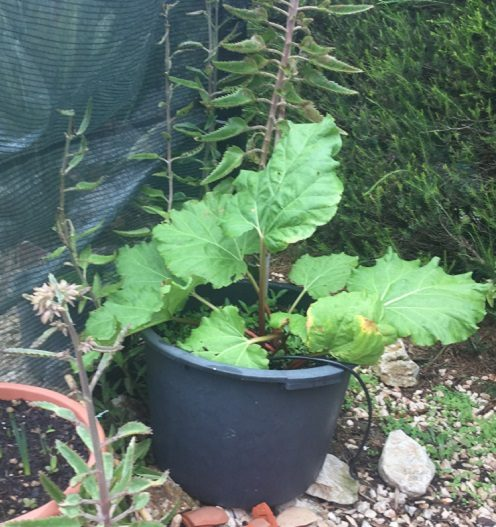 Rhubarb Growing in Pot - November