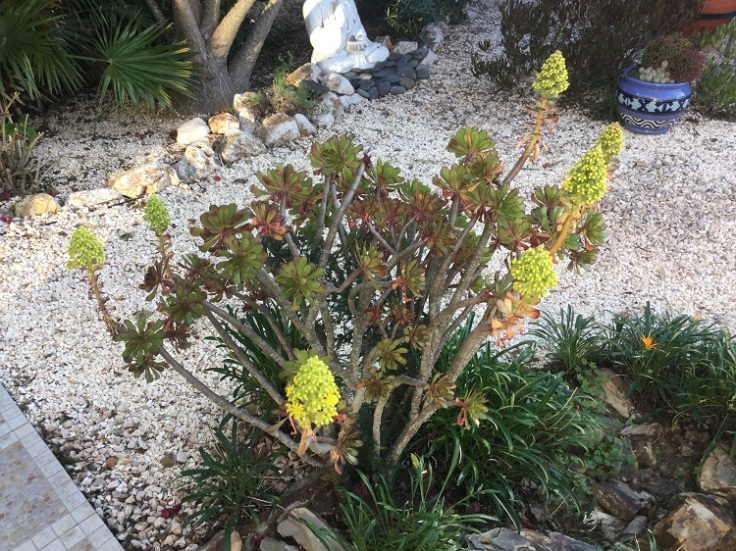 Aeonium in flower - Jan 2019