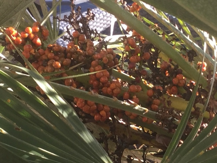 Mediterranean Fan Palm, Chamaerops humilis