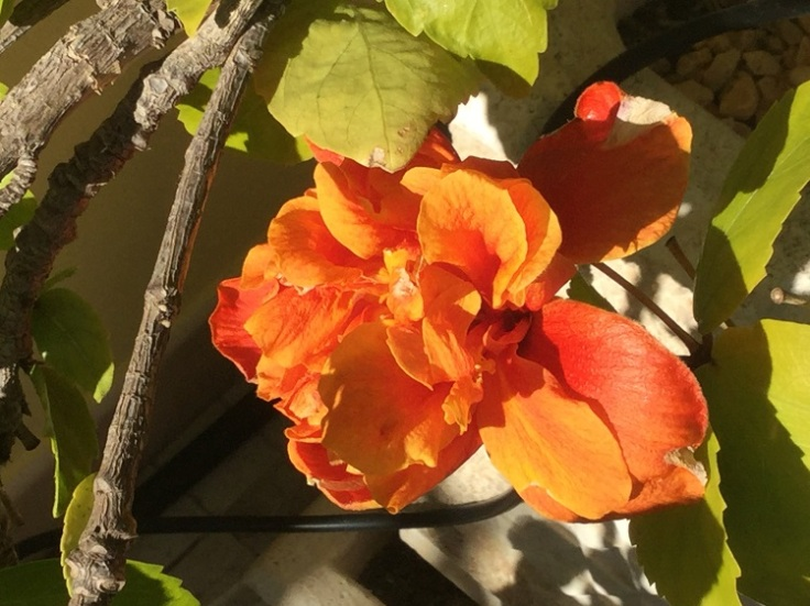 Hibiscus flowering in January