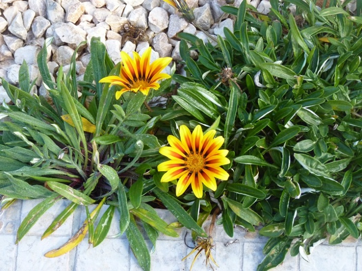 Gazanias in January
