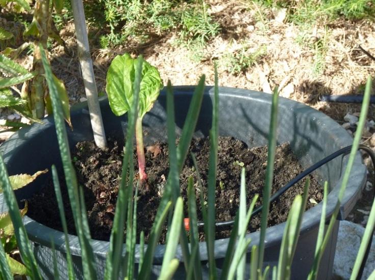 Rhubarb - Timperley Early