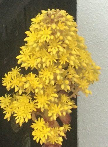 Yellow Aeonium in January