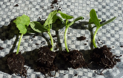 Cucumber seedlings 7th January 2019